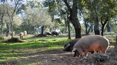 Ruta del Cerdo Iberico